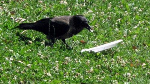 Ворона, у которой должен брать пример каждый человек (5 фото)