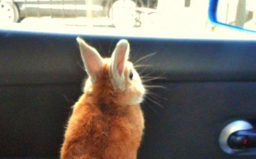 Кролик Корон, которому известны проблемы низкорослых людей (8 фото)