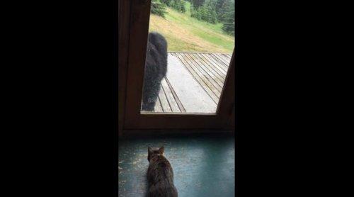 Кошка спугнула чёрного медведя