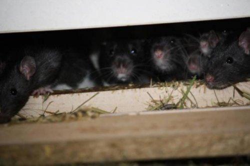 300 крыс в одной квартире (14 фото)