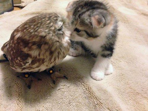 Лучшие друзья совёнок Фуку и котёнок Маримо (7 фото)