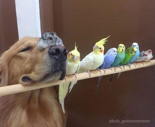 Очаровательная дружная компания: золотистый ретривер Боб, 8 птиц и хомячок (23 фото)