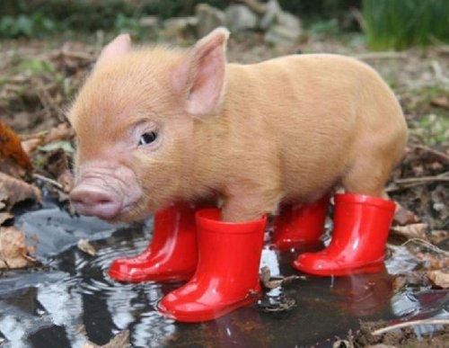 Свиньи в обуви (10 фото)