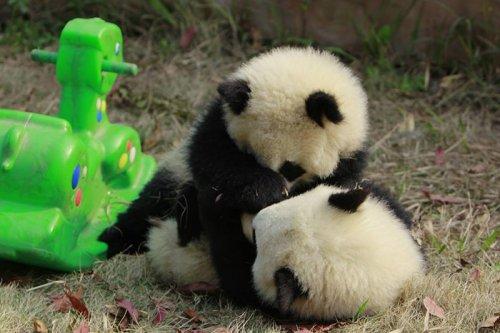 Ясли для детёнышей панды в Чэнду (18 фото)