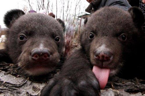 Щенки, купленные китайцем два года назад, выросли… в медведей (5 фото)