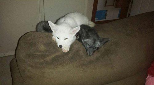 Домашние лисицы Один и Фрогги (15 фото)