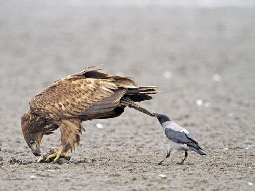 Вороны-тролли (9 фото)