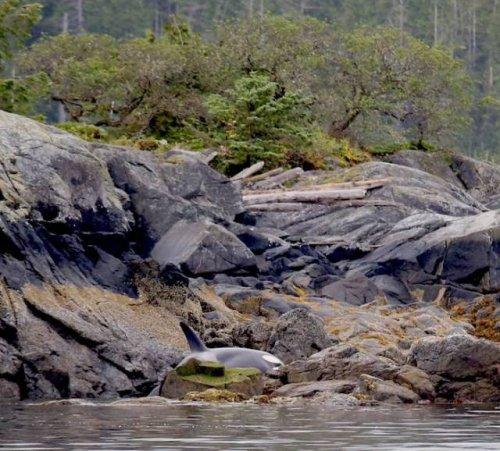 Спасение косатки, оказавшейся на берегу после отлива (5 фото + видео)