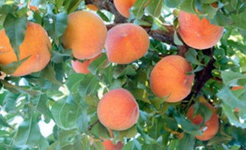 Персик фото