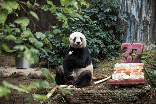Панда-долгожительница Цзя-Цзя отметила 37-ой день рождения (3 фото + видео)