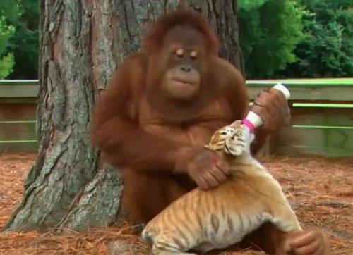 Орангутанг заботится о тигрятах