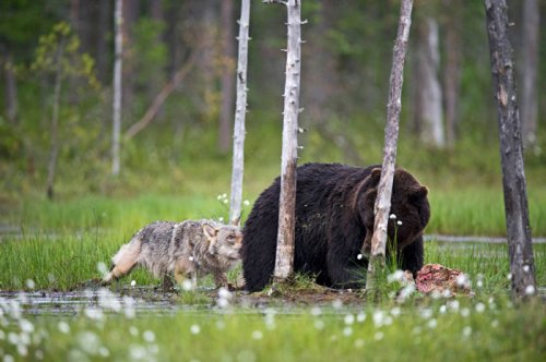 Невероятная дружба медведя и волчицы (10 фото)