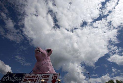 Ловля свиней в грязи на Festival du Cochon-2015 (17 фото)