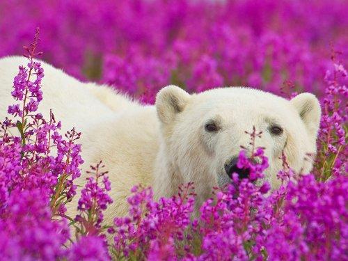 Полярные медведи резвятся на цветочном лугу (11 фото)
