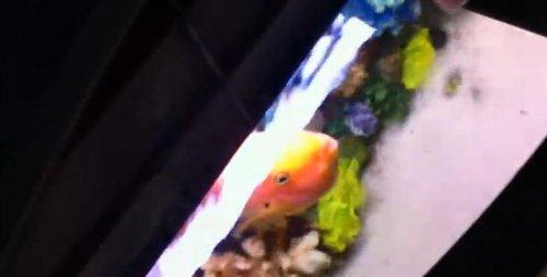 Самая общительная рыба-попугай