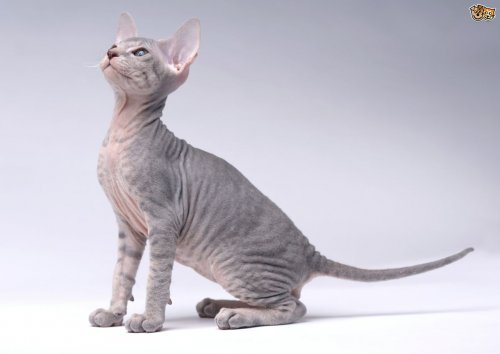 Кошки самых дорогих пород (8 фото)