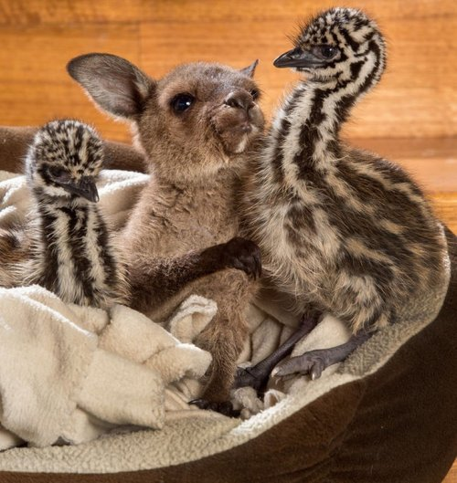 Очаровательная дружба птенцов эму и кенгурёнка (4 фото)
