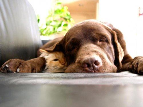 Очаровательные примеры дружбы кошек и собак. Часть 1 (27 фото)