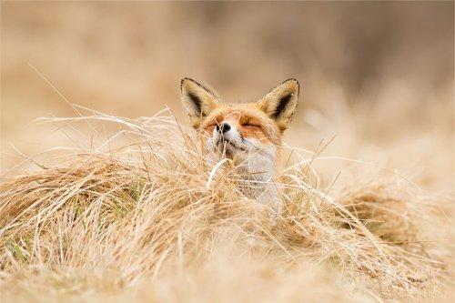 Дикие лисы, постигшие дзэн (13 фото)