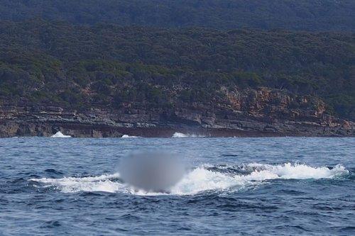 Необычный пассажир на горбатом ките (3 фото)
