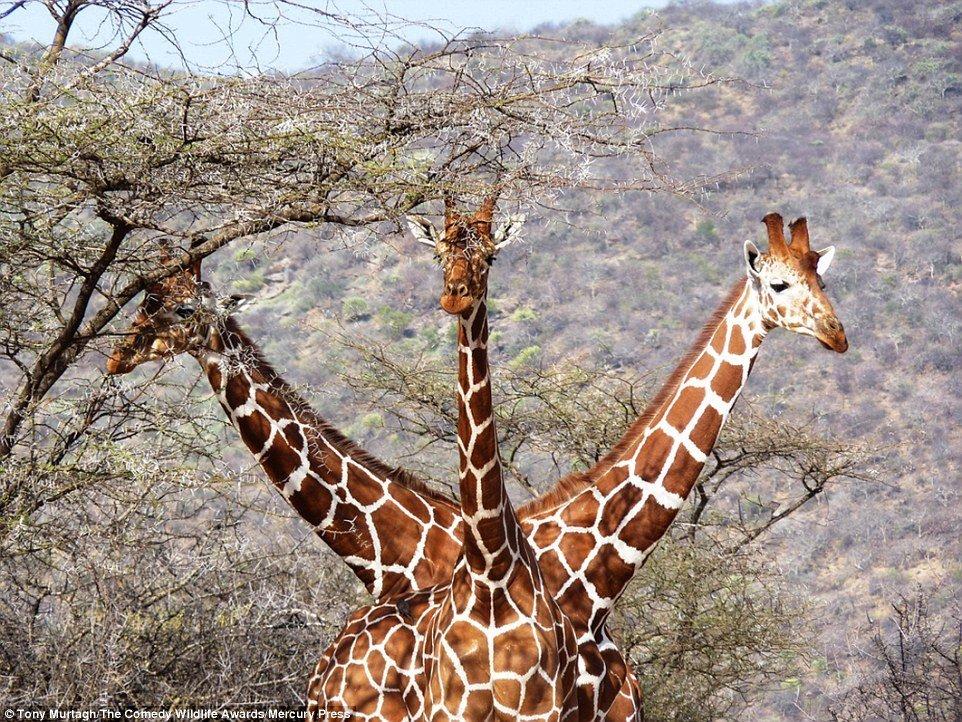 Картинки прикольные про жирафа