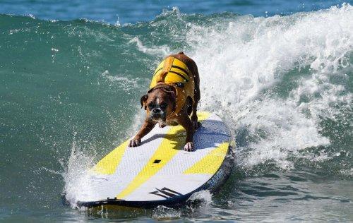 Соревнования среди собак-сёрфингистов Surf City Surf Dog-2015 (22 фото)