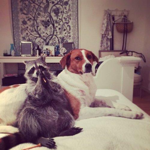Енот, выросший с собаками, считает себя одной из них (20 фото)