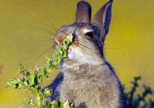 Молодой голодный кролик решил попробовать чертополох (4 фото)