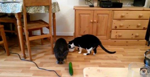 """Кошки и незаметно """"подкравшиеся"""" огурцы"""