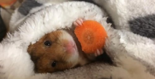 Очаровательный хомяк ест морковку перед сном