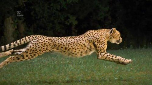 Бег самого быстрого животного планеты в замедленной съёмке