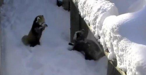 Забавные красные панды