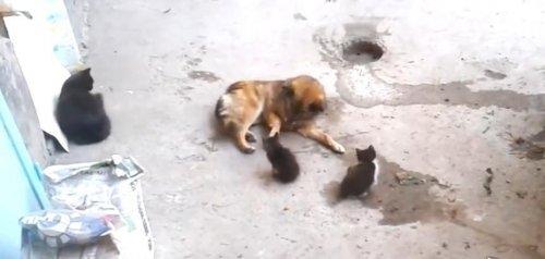 Кошка-мама привела своих котят познакомиться с лучшим другом