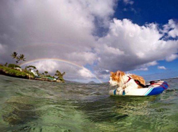 Коты на серфинге