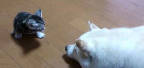 Первое знакомство собак с котятами