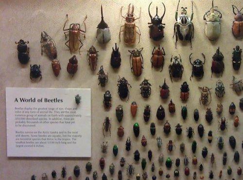 Необычный жук в коллекции Кливлендского музея естественной истории (3 фото)