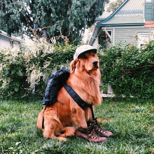 Заядлый путешественник золотистый ретривер Аспен (19 фото)