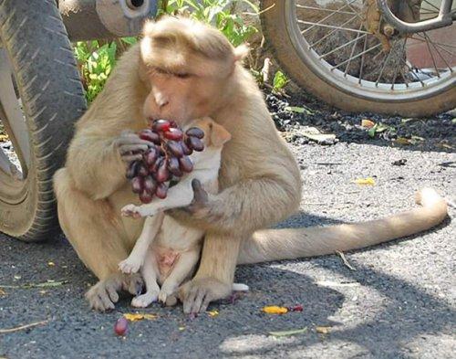 Обезьяна усыновила щенка и заботится о нём, как о собственном детёныше (9 фото)