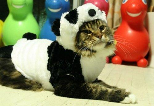 Кошки, которые всегда мечтали стать большими пандами (10 фото)