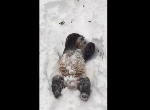 Панда Tian Tian радуется выпавшему снегу