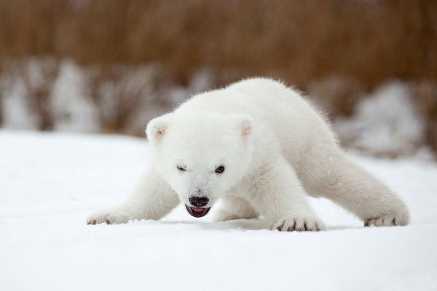 фото белого медвежонка приготовления