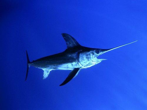 Морской биолог показал, как выглядит малёк меч-рыбы