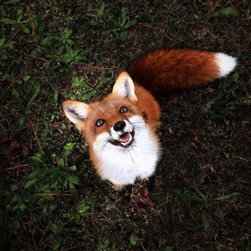Самая счастливая лисица Джунипер покоряет Instagram (21 фото)