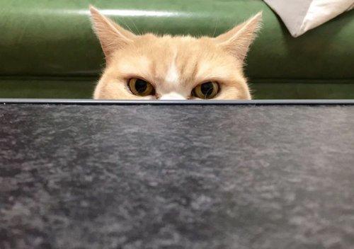 Grumpy Cat в японской версии (14 фото)