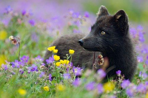 Редкая красота чёрно-бурых лисиц (14 фото)