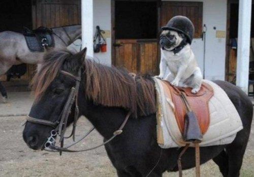 Прикольные собаки в шлемах (10 фото)