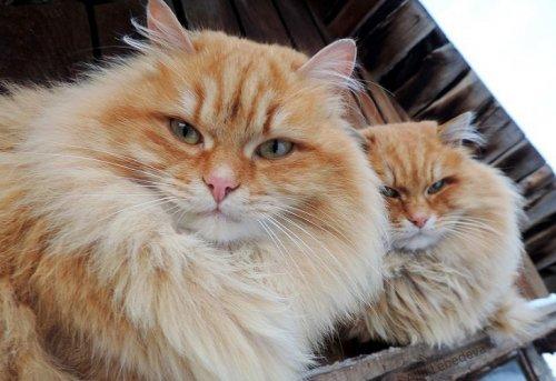 Сибирские кошки в фотографиях Аллы Лебедевой (15 фото)