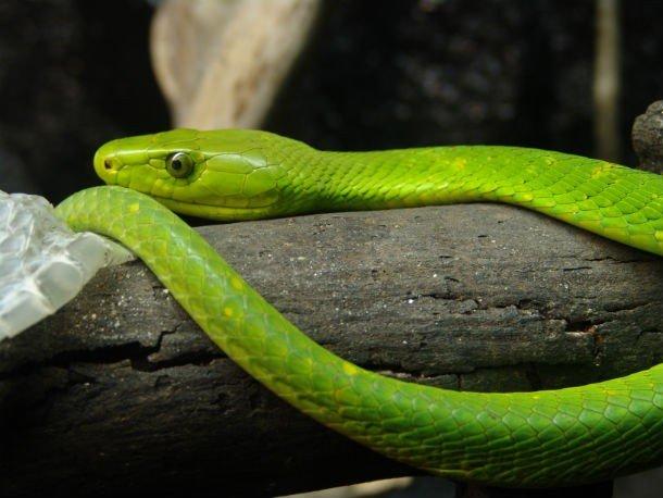 мамба ядовитая зеленая