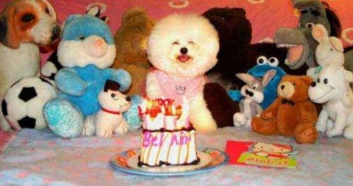Праздничные собаки, отмечающие день рождения (10 фото)