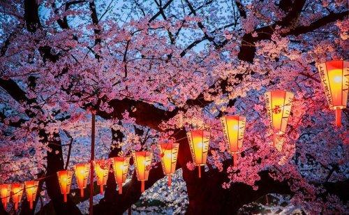 Цветущая сакура в потрясающих фотографиях от National Geographic (16 фото)